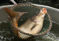 Breeding of common carp